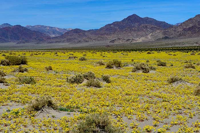 Wildflower report desertusa death valley california death valley np wildflower report whats blooming and where in death valley mightylinksfo