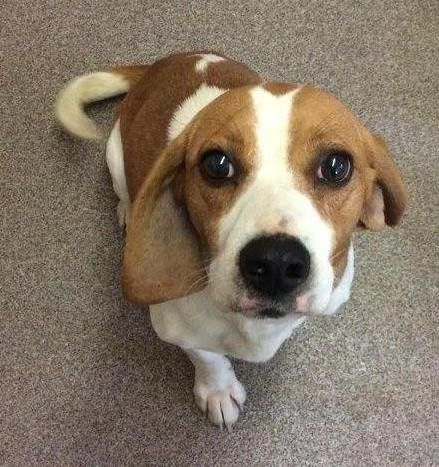 Beagle Dog For Adoption In Rockaway Nj Adn 448383 On Puppyfinder