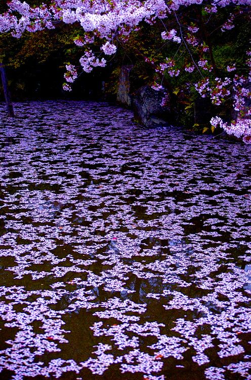 Image result for images cherry flower petals and violet
