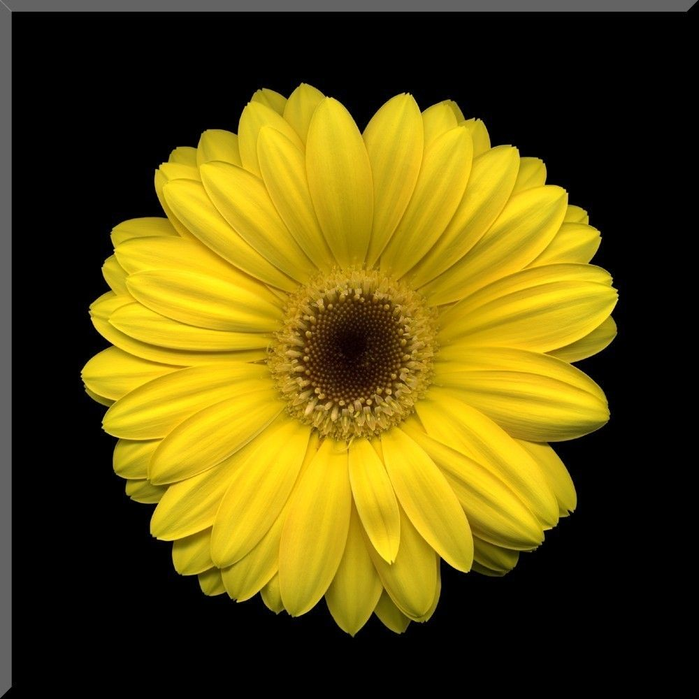Gerbera daisy yellow flowers pinterest gerbera and flowers items similar to 8x8 yellow gerbera daisy wall plaque on etsy izmirmasajfo Choice Image