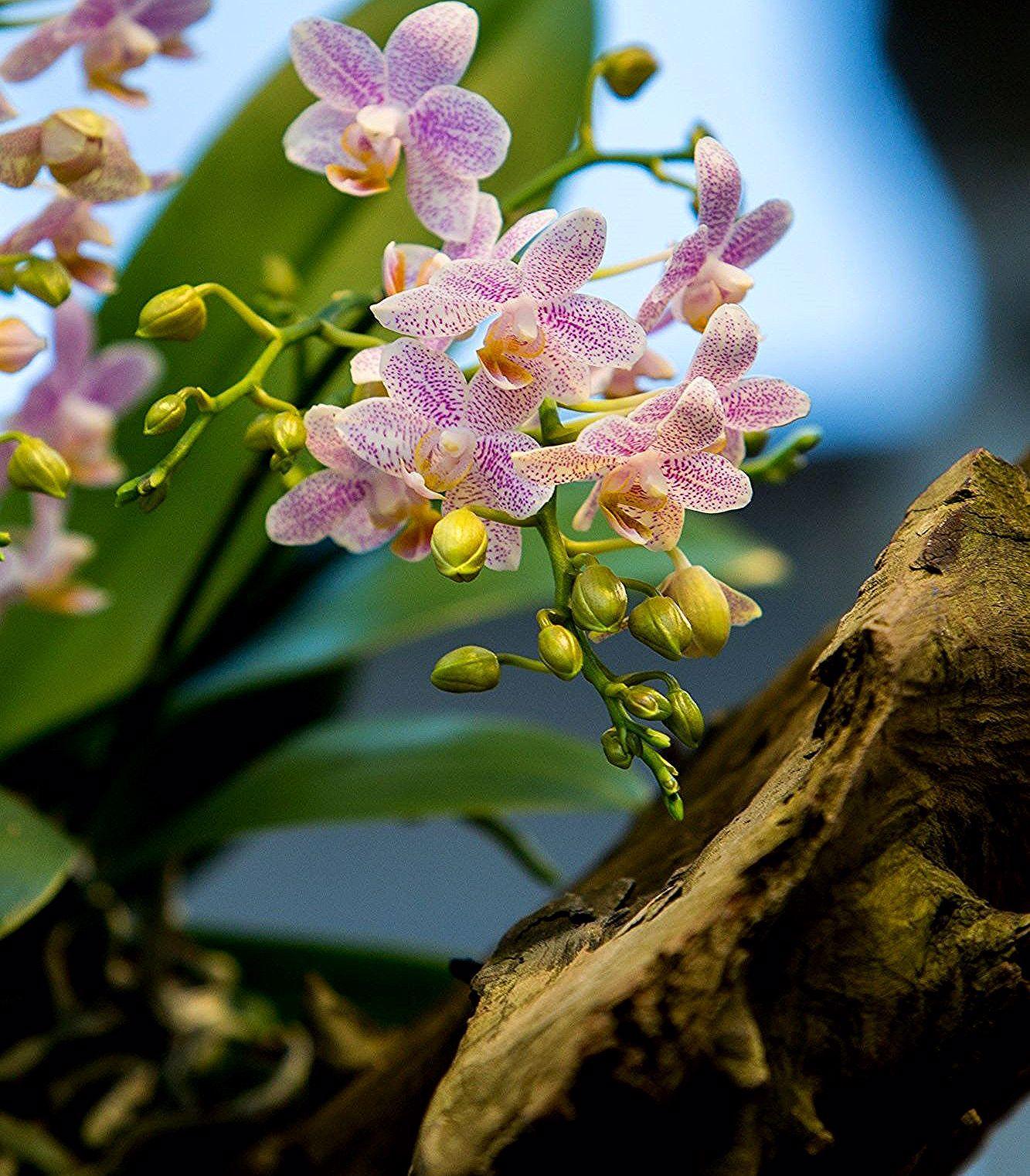 Orchidee Phalaenopsis In 2020 Phalaenopsis Plants