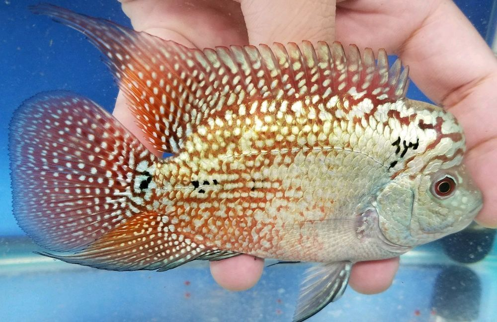 4 Inch Baby Show Quality King Kamfa Flowerhorn 15 Beautiful Fish Cichlids Tropical Fish