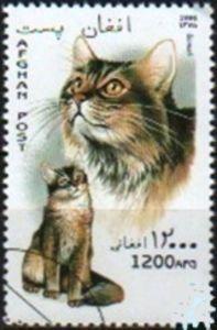 Somali (Felis silvestris catus)