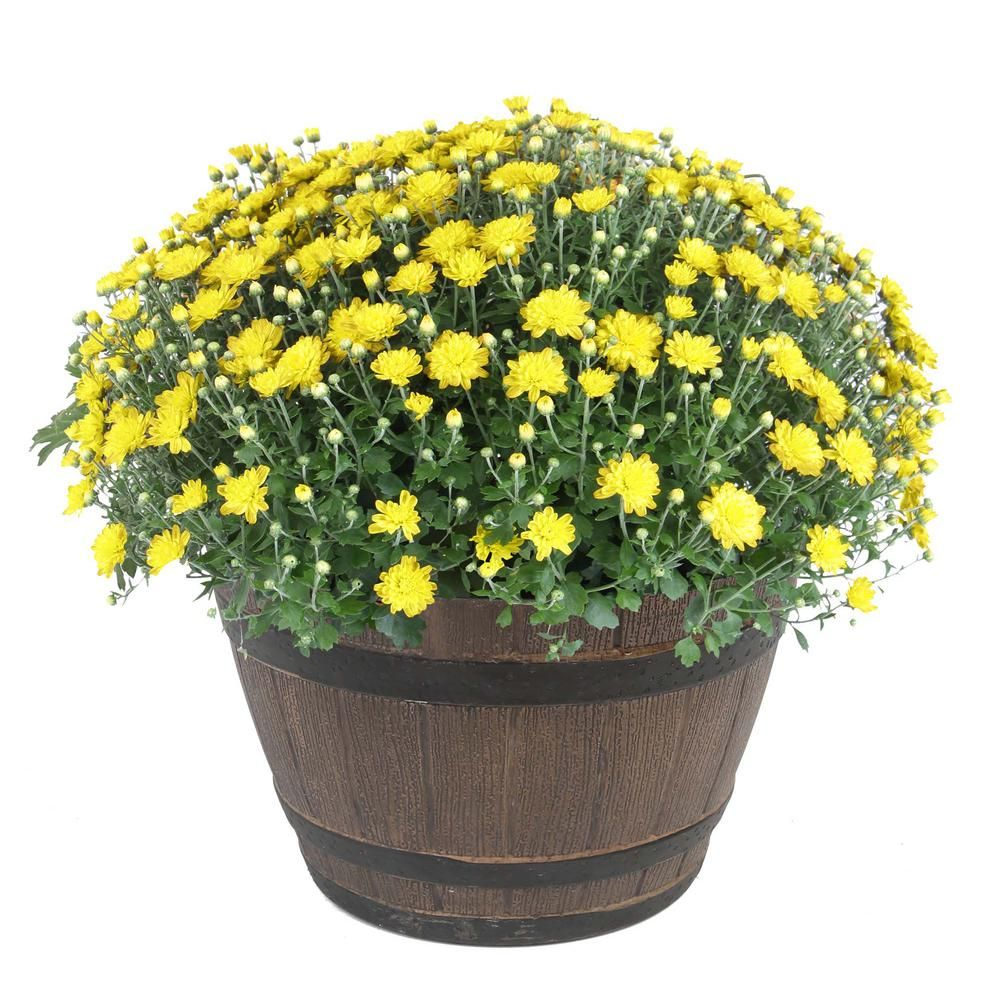 Costa Farms 3 Qt Ready To Bloom Yellow Fall Mums Chrysanthemum In Whiskey Barrell 2 Pack Chr3q Fall Mums Summer Flowers To Plant Whiskey Barrel Furniture