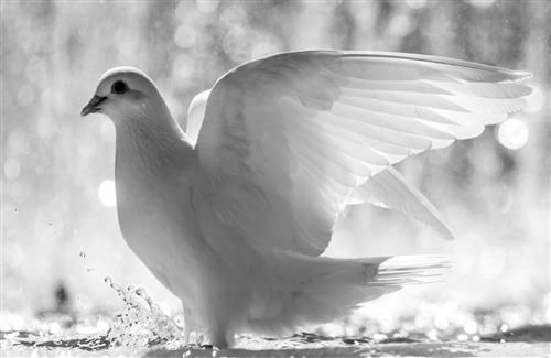 Download White Dove Bird Hd Wallpaper Hd Wallpaper Free At Hdwallpapers Live Dove Pictures White Doves Dove Bird White pigeon hd wallpaper download