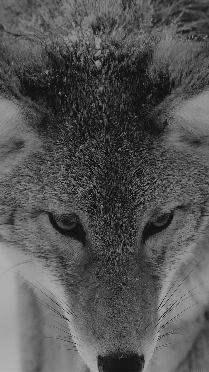 Snow Wolf Animal Macro Iphone 6 Plus Wallpaper Wolf