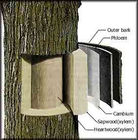diagram of tree wood layers horticulture education layers, wood Tree Stem Diagram