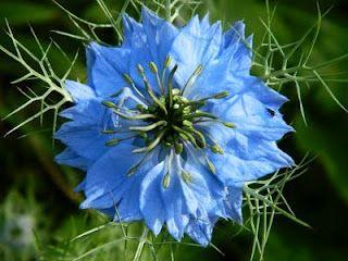 Love In A Mist Flower Seeds Pretty Flowers Blue Flowers