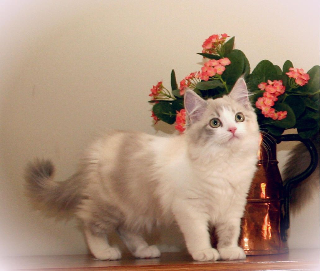 RagaMuffin Cats for Sale Cats looking up Pinterest