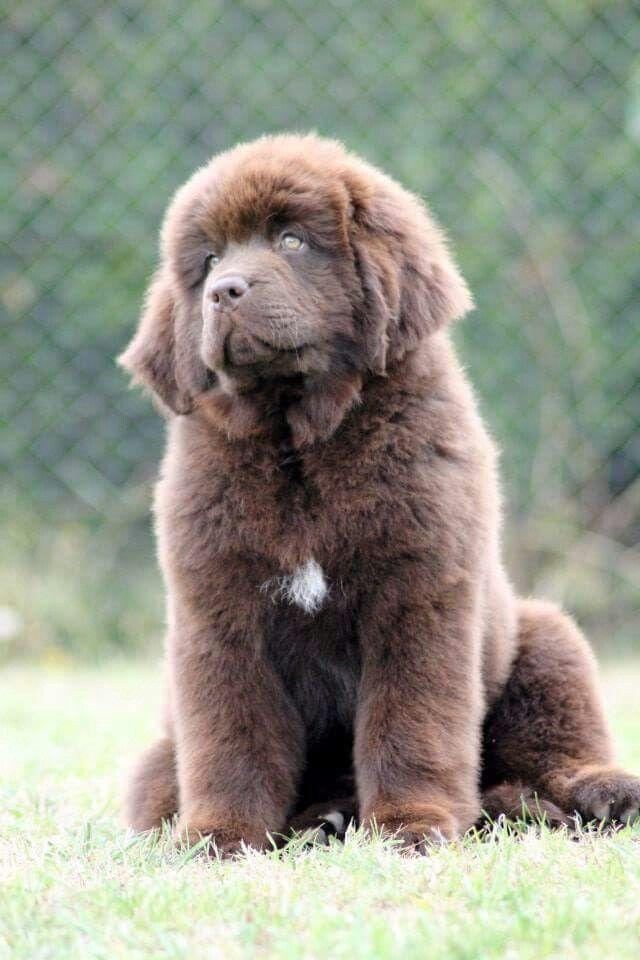 ️ ️ ️ Dogs, Brown newfoundland dog, Newfoundland puppies