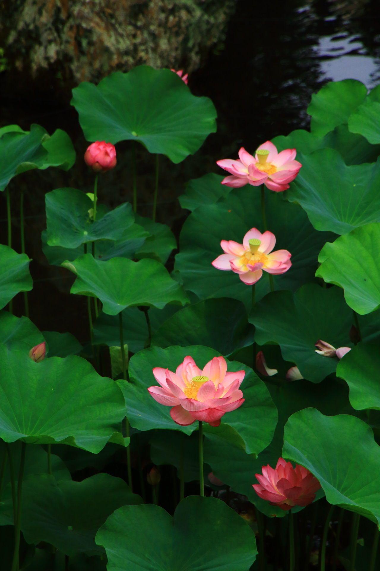 夢の中のような気分になる蓮の花 蓮の花 スイレン 美しい花