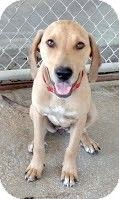 Media, PA - Labrador Retriever/Hound (Unknown Type) Mix. Meet Grace, a dog for adoption. http://www.adoptapet.com/pet/11051509-media-pennsylvania-labrador-retriever-mix