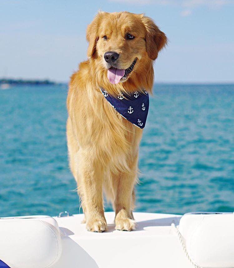 Golden Sailor Golden retriever, Dogs, Puppies