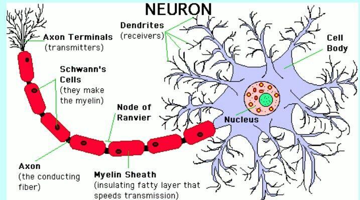 Neuron Adhd Home School Pinterest Adhd And School