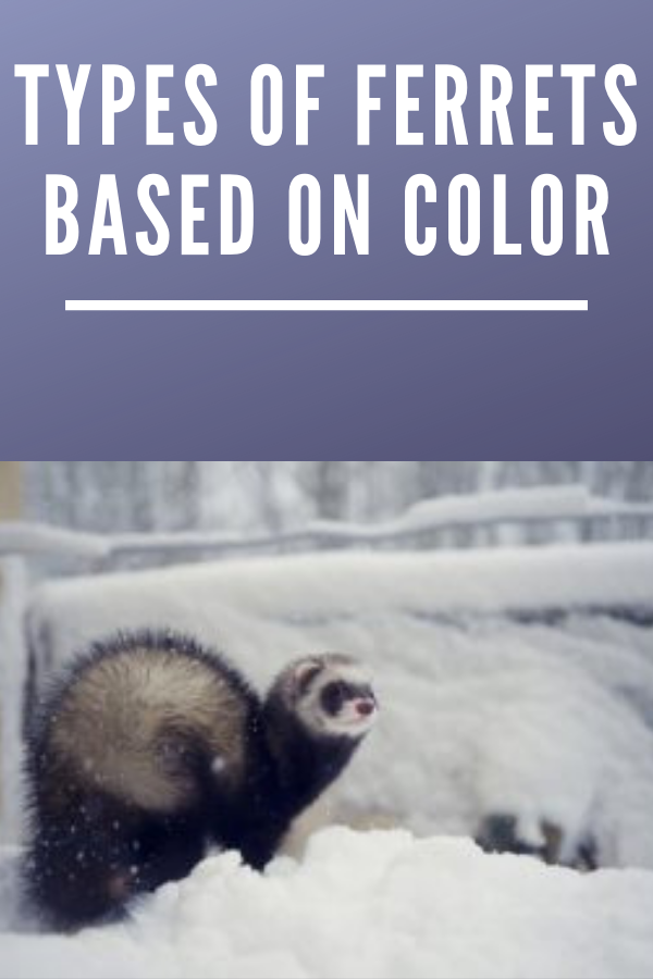 Types Of Ferrets Based On Color Ferret Ferret Colors Cute Ferrets