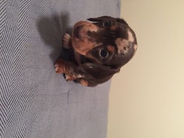 Dachshund Puppy For Sale In Tulsa Ok Adn 20930 On Puppyfinder