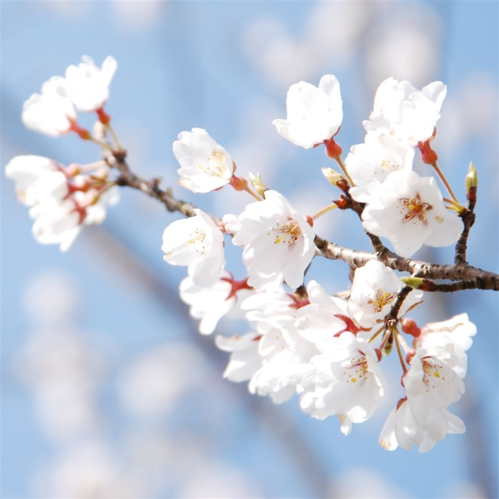 Cherry Blossom And Blue Sky iPad 4 Wallpaper Download