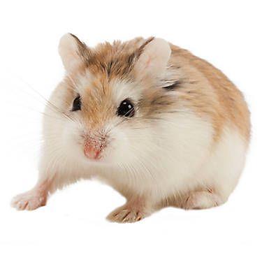 Roborovski Dwarf Hamster Hamsters for sale, Pets, Pets
