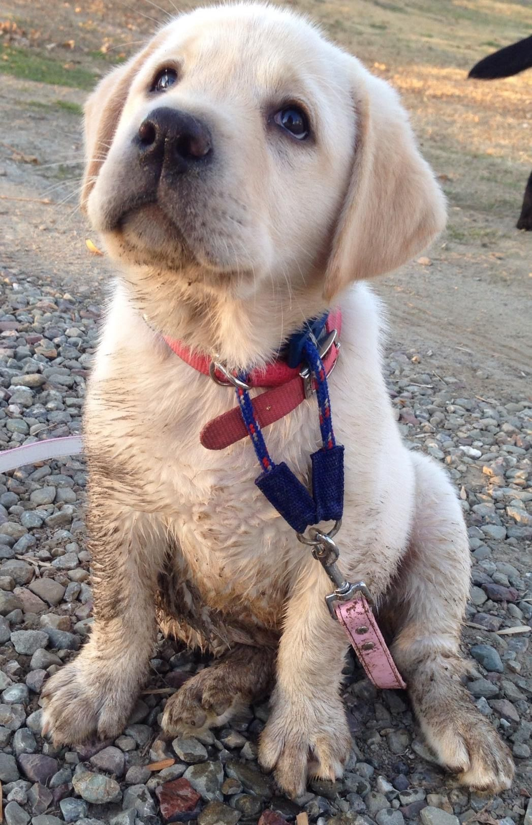 Pin By Julie Davis Simshauser On English Labradors English Labrador Labrador Retriever Labrador