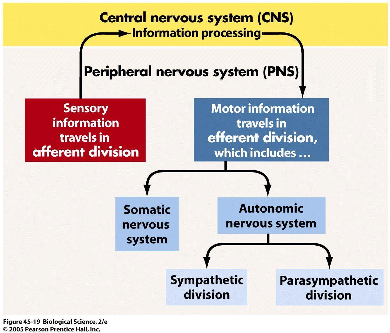 Flow Chart Nervous System Peripheral Autonomic