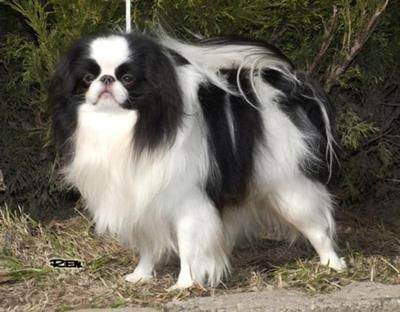 JAPANESE CHIN Wanted Poster FRIDGE MAGNET New DOG