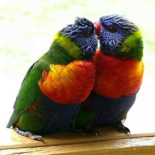 Cute picture of two birds kissing | Bird | Love birds, Birds