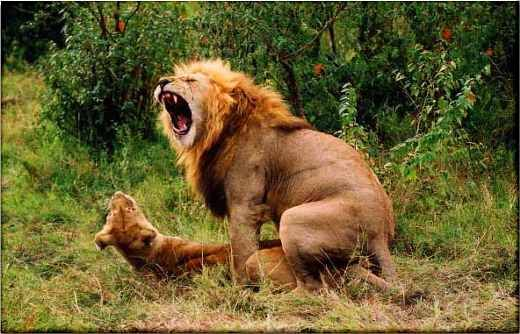 ANIMALS | Animal Mating Pics of a Lion and Hyena Couple