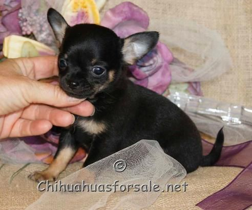 Trystan Black And Tan Boy At Almost 8 Weeks Of Age Chihuahua