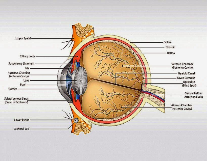 Human Eye Anatomy Retina The Body Of The Eye Model Human Model Www