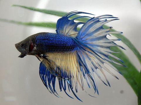 Pin On Betta Fish