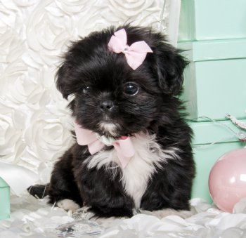 Tiny Black White Shihtzu Princess