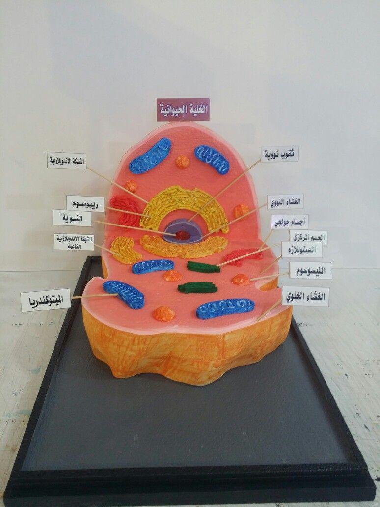 مجسم الخلية الحيوانية بخامة الفوم 0549743660 Cell Model Project Food Photography Background Cell Model