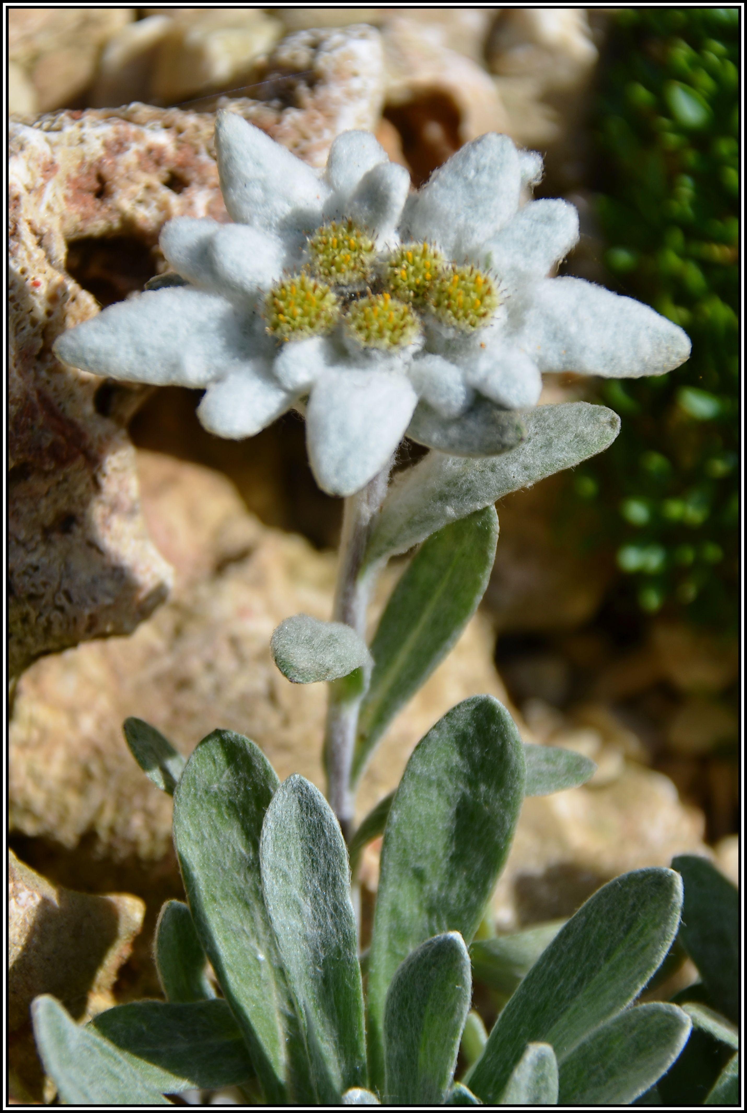 Mein kleines Alpinum - Ein Steingarten am Niederrhein - Leontopodium alpinum ssp.nivale pirinicum (Edelweiß)