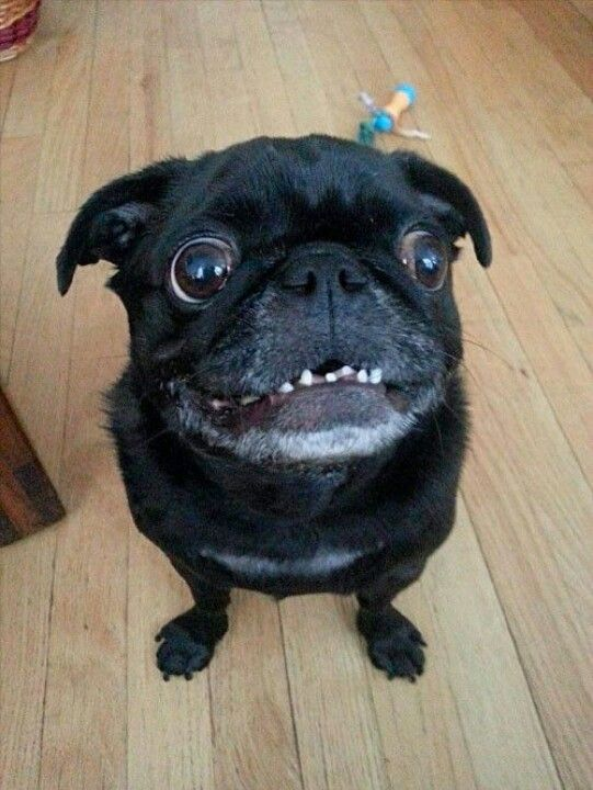 Irresistible Pug Smile Funny Dog Faces Funny Animals Pugs Funny