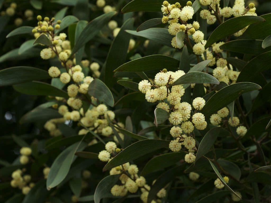 Acacia Melanoxylon Australian Blackwood Legume Family Fabaceae