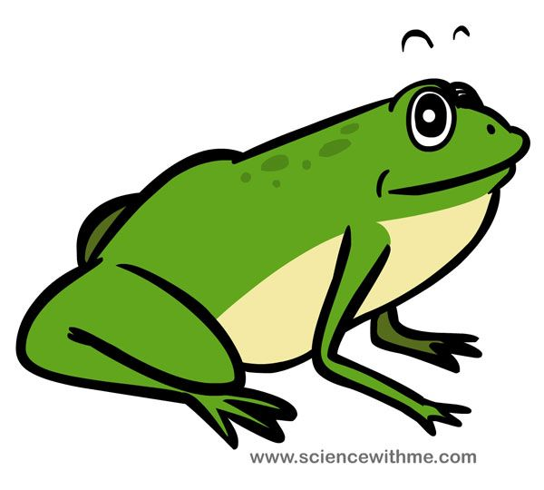 Life cyle of the Frog  Science for Kids  MS  Pinterest