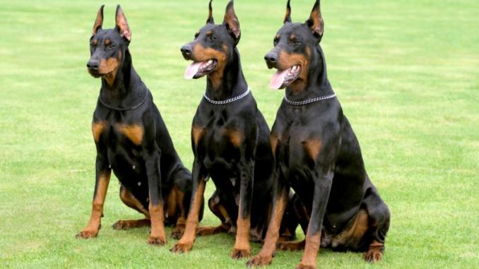 Top 10 Best Guard Dogs Best Guard Dogs Best Guard Dog Breeds