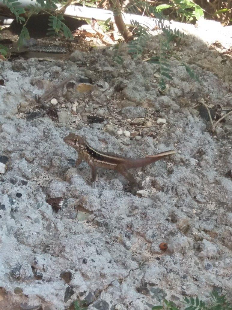 Lizard in the back yard! | Turks, caicos, Island, Caribbean