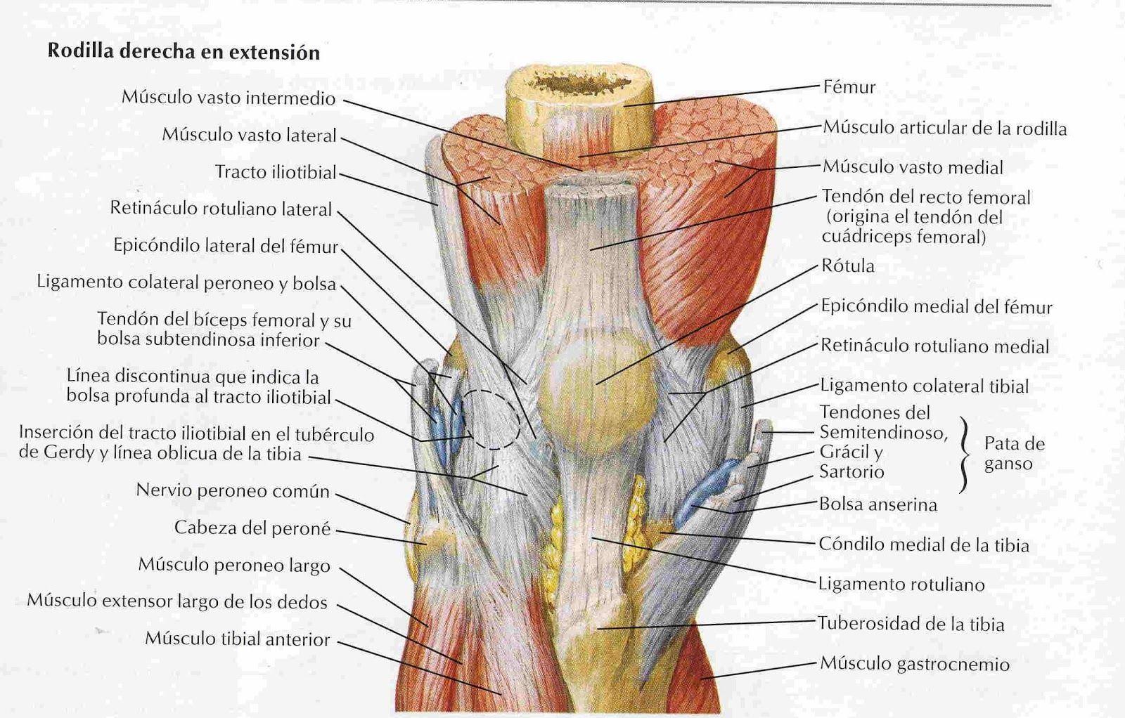 Elementos de Anatomía y Fisiología Humana: Rodilla | Miembro ...