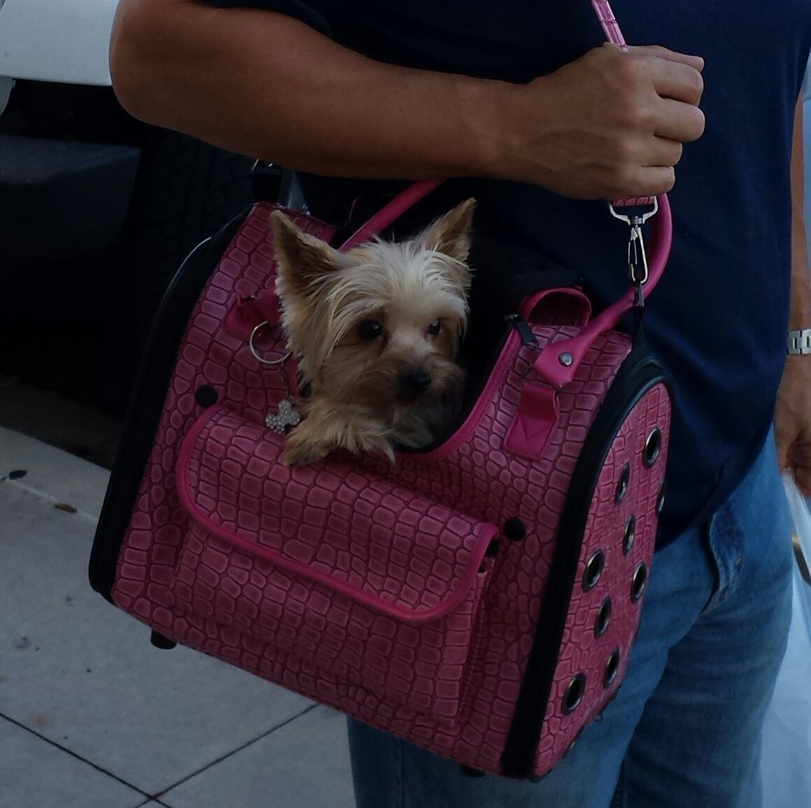 Chloe Being Carried By Daddy :) #Yorkie #Yorkshire Terrier