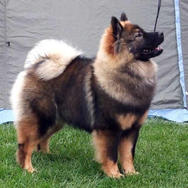 Eurasier Cute Dogs Eurasian Dog Dog Breeds
