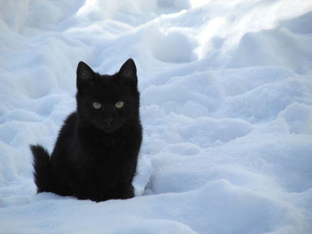картинка черная кошка в снегу можно