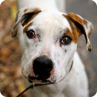 Craig, CO Boxer Mix. Meet Gunner, a dog for adoption