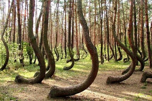 Crooked Forest, Gryfino, Poland.