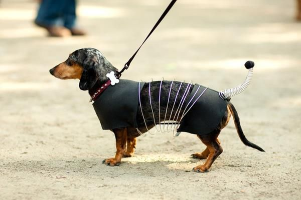 Great Slinky Costume Dachshund Doxie Diy Dog Costumes Dog