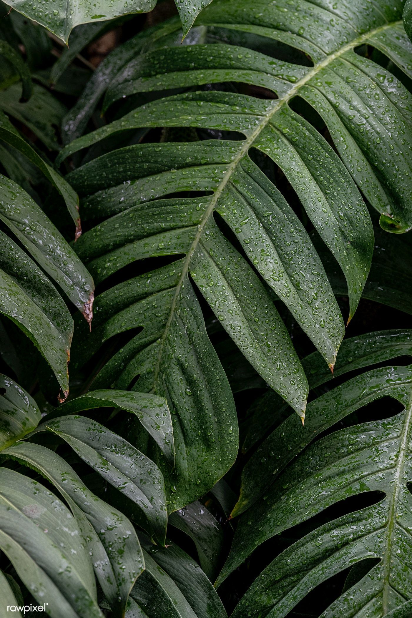 Download premium image of Wet Monstera deliciosa plant leaves in a garden