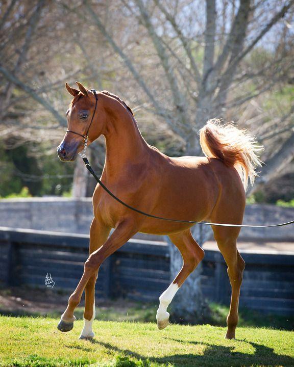 Aj Mardan Pferde Rassen Pferderassen Pferde