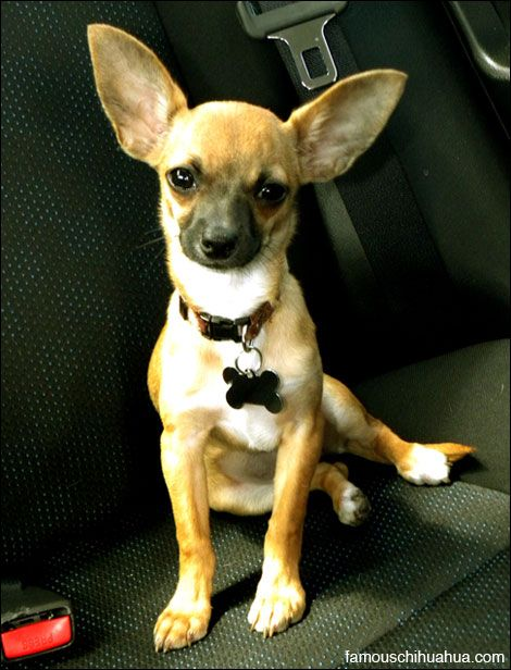Isabel The Baby Chihuahua With Ears You Won T Forget Chihuahua