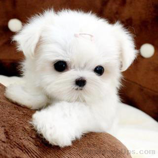 Sweet And Cute Puppies Dp For Whatsapp Cute Dogs And Puppies Cute Animals Maltese Puppy