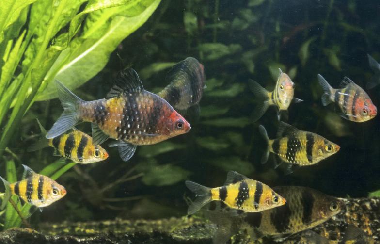 The Black Ruby Barb Pethia Nigrofasciata Is A Gorgeous Fish For The Temperate Aquarium Aquarium Fish Pet Fish Coldwater Fish